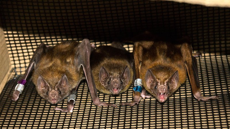 Vampire Bats Form Close Bonds with Each Other by Sharing their Meals